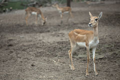 Baby brown deer in safari Stock Photos