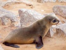 Baby brown fur seal, Arctocephalus pusillus, lying on the rock, Cape Cross Colony, Skeleton Coast, Namibia, Africa.  stock photo