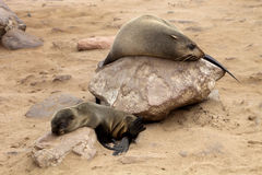Baby Brown fur seal, colonies of Cape Cross, Namibia Stock Photos