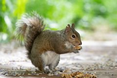 Baby brown furry squirrel holding walnut. Piece in its hands and eating it. Up close shot stock images