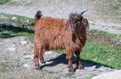 Baby brown goat standing on green grass Stock Photography