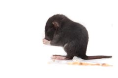 Baby brown gray rat eating Royalty Free Stock Photography