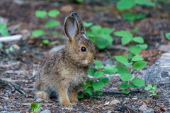 Baby brown hare or bunny on forest floor. Baby brown hare or bunny on forest floor royalty free stock image