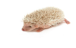 Baby brown hedgehog. Isolate on white stock photo