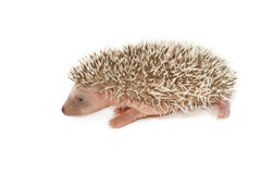 Baby brown hedgehog. Isolate on white stock image