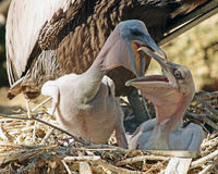 Baby brown Pelican squabbling. Two hungry baby Pelican chicks in a nest squabbling with each other Royalty Free Stock Photo