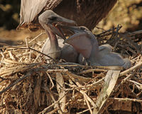Baby brown Pelicans. Pair of baby brown Pelicans squabbling in a nest Stock Photo
