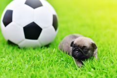 Baby brown Pug three weeks age with football. In garden royalty free stock photos