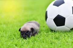 Baby brown Pug three weeks age with football. In garden stock photos