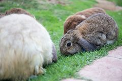 Baby brown rabbit on green grass field surrround with rabbits Royalty Free Stock Image