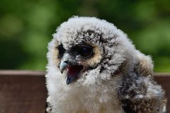 Baby brown wood owl strix leptogrammica. Close up portrait of a baby brown wood owl strix leptogrammica stock images