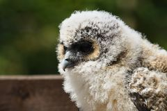 Baby brown wood owl strix leptogrammica. Close up portrait of a baby brown wood owl strix leptogrammica royalty free stock image