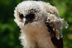 Baby brown wood owl strix leptogrammica. Close up portrait of a baby brown wood owl strix leptogrammica royalty free stock photo