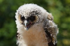 Baby brown wood owl strix leptogrammica. Close up portrait of a baby brown wood owl strix leptogrammica royalty free stock photos