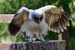 Baby brown wood owl strix leptogrammica. Portrait of a baby brown wood owl royalty free stock photo