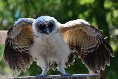 Baby brown wood owl strix leptogrammica. Portrait of a baby brown wood owl strix leptogrammica with open wings royalty free stock photography