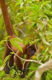 Baby Brown Woolly Monkey. A young Brown Woolly Monkey (Lagothrix lagotricha) uses it's strong tail to hang from a branch in the amazonian rainforest of northern Stock Photo