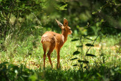Baby Buck Royalty Free Stock Photos