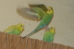 Baby budgie flying. royalty free stock image