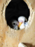 Baby Budgies 2 Stock Photos