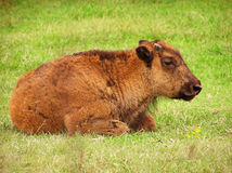 Baby Buffalo. A baby buffalo resting Royalty Free Stock Images