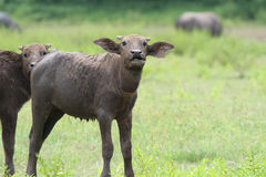 Baby buffalo. In the cattle farm Royalty Free Stock Photography