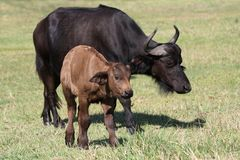 Baby Buffalo Royalty Free Stock Photos