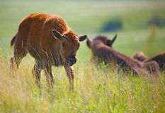 Baby buffalo bison. Theodore Roosevelt National Park baby bison buffalo royalty free stock photo