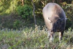 Baby buffalo (Bubalus bubalis) in Thailand Royalty Free Stock Images