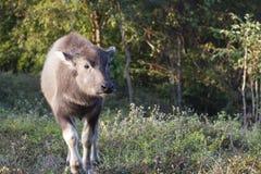 Baby buffalo (Bubalus bubalis) in Thailand Stock Photo