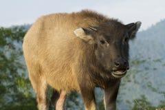 Baby buffalo (Bubalus bubalis) in Thailand Royalty Free Stock Image