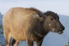 Baby buffalo (Bubalus bubalis) in Thailand Royalty Free Stock Photo