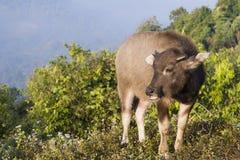 Baby buffalo (Bubalus bubalis) in Thailand. Baby buffalo (Bubalus bubalis) in the north of Thailand Royalty Free Stock Photo