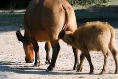 Baby buffalo drinking milk Royalty Free Stock Images