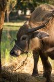 Baby buffalo in farm. Stock Photos