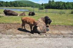 Baby buffalo beside his dad Royalty Free Stock Photo