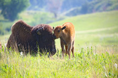 Baby buffalo with mom bison. Mom and baby buffalo bison in Theodore Roosevelt National Park stock photos