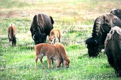 Baby Buffalo Royalty Free Stock Image