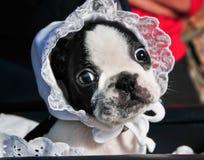 Baby Buggy Bulldog Stock Photos