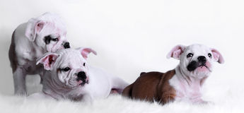 Baby bulldog Royalty Free Stock Photography