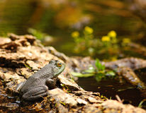 Baby Bullfrog. A small bullfrog sitting on a log in a pond royalty free stock photo