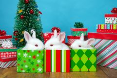 Baby bunnies in christmas boxes royalty free stock photo