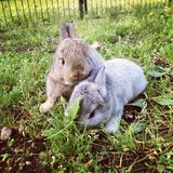 Baby bunnies. Flemish Giant baby bunny rabbits in the grass on the farm Stock Photography