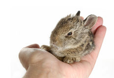 Baby Bunny. Egg sized Baby Bunny Rabbit sitting in palm of hand Royalty Free Stock Photos