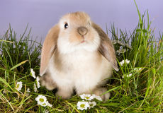 Baby bunny. Very young lop rabbit on a patch of grass with daisies Stock Image