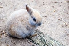 Baby Bunny. A baby rabbit crouches on a log stock image