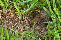Baby Bunny Rabbit. Baby bunny photo. A springtime photo of a very small cotton tail bunny rabbit in its hole Stock Photo