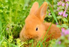 Baby bunny eat in spring grass Stock Images