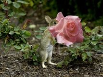 Baby Bunny Eating A Pink Rose. ~ Fresh Rain Drops Royalty Free Stock Photography