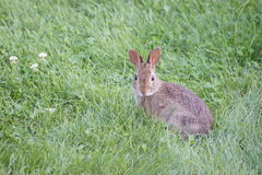 Baby Bunny, Green Grass. Baby bunny sitting in the green grass Stock Photography